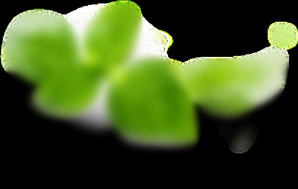 Basilico Fresco sulla margherita